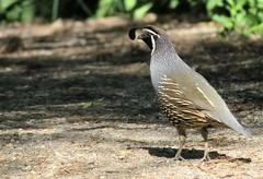 California Quail (tonywild241) Tags: park canada bird nature britishcolumbia wildlife trail quail
