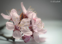 A dream is only a dream until you make it an action.... (beth3974) Tags: cherry blossom