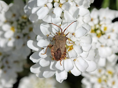 Dock Bug On Candytuft! (RiverCrouchWalker) Tags: bug insect spring april essex squashbug invertebrate 2016 candytuft coreidae wrabness coreusmarginatus dockbug wrabnessstation