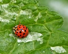 Spring 2016 - 810 LBG (Lostash) Tags: life flowers plants nature spring flora seasons insects bugs ladybird ladybug beetles harlequinladybird