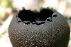 Urnula craterium (devil's urn) (A Really Small Farm) Tags: macro cup minnesota forest spring teeth depthoffield hazel scales fungus ascomycota devilsurn coryluscornuta cupfungi urnulacraterium
