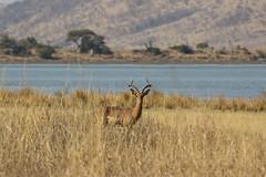 curious (felipeepu) Tags: africa water south deer safari südafrika