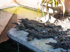 P1092364 (tatsuya.fukata) Tags: elephant thailand crocodile samutprakan crocodilefarm
