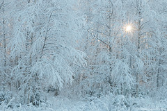 Getting colder (Karl Adami - www.adamifoto.com) Tags: trees winter wild sun white snow cold tree beautiful weather woodland landscape landscapes daylight frozen europe frost estonia european natural snowy north january freezing frosty birch sunrays northern colder harsh eesti estonian wintery naturre 2016 birchgrove prnumaa frorest