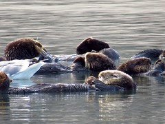 Sea otters sleeping-elkhorn slough (gskipperii) Tags: cute animal mammal sleep wildlife adorable fluffy floating estuary centralcoast slough mammals mosslanding