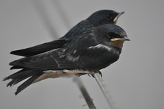 rondini fratelli (yokomonamour1) Tags: cute animals wildlife pisa swallow rondine