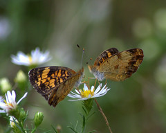 Table for Two (KsCattails) Tags: black bokeh butterfly daisy flower gold macro meadow outdoor overlandparkarboretum pair pearl romance white yellow lovers nikon d7000 kscattails opagc