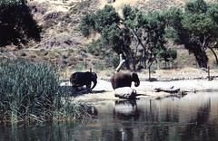 Asian Elephants, Shambala Sanctuary, California (Animal People Forum) Tags: california elephant animals asian outside outdoor elephants mammals animalsanctuary asianelephant shambala shambalasanctuary