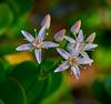 Crassula ovata - Jadestrauch II (Danyel B. Photography) Tags: leica flowers plants macro close blossom sony pflanzen blumen ii 28 nah 60mm makro a7 münster crassula blüten ovata elmarit leitz jadestrauch