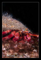 IMG_1269 (Graggs) Tags: crab scuba diving tenerife hermit underwaterphotography radazul