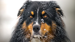 Mr. Frost (der_peste (busy)) Tags: winter portrait dog snow cold color face amber eyes frost shepherd sony canine dogface aussie australianshepherd walimex a7 dogportrait samyang blacktri sonya7 samyang1352 walimexpro1352