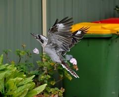 DSC_0033 (RUMTIME) Tags: bird nature birds fly flying flight feathers feather queensland kookaburra coochie coochiemudlo