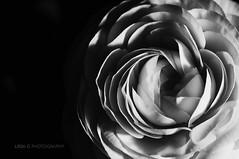 Ptalos en Espiral (Lissa ) Tags: bw flower macro textura petals fractal crculo profundidaddecampo monocromtico fondonegro ranunculos