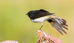 Kick (AnilGoyal Pixelart) Tags: bird beauty birds rocks bokeh background birding rajasthan wheatear barkheda anilgoyalpixelart anilgoyal