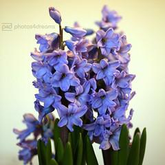 ²challenge 20 / 365 (photos4dreams) Tags: blue flower home nature closeup smell blau hyacinth duft hyazinthe hyazinte photos4dreams photos4dreamz p4d flowers1920012016p4d