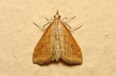 Crambidae (Moth sp.) - South Africa (Nick Dean1) Tags: insect southafrica moth insects lepidoptera arthropods arthropoda krugernationalpark arthropod hexapod insecta lowersabie hexapods hexapoda