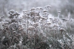 Winterliches (me*voil) Tags: winter plants white cold frost meadow