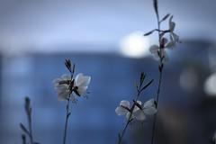 Gauras (2949) (cfalguiere) Tags: flower nature fleur plante oenothera gaura onagraceae colorwhite placevictorhugo lindheimer genrenature locationcourbevoie