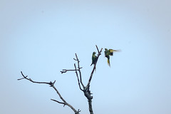 Lovers Quarrel (MudflapDC) Tags: travel cruise vacation peru rain birds river fight amazon parrot jungle perch pe loreto excursion pacayasamirianationalreserve delfinii