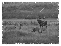 Dar 2015 SW old (Vogelfoto69) Tags: germany born nationalpark natur region wald ostsee prerow barth reddeer ahrenshoop leuchtturm jgermeister deerhunting darss wildschwein zingst bodden mecklenburgvorpommern windpark 2015 wiek dars naturschutz naturfoto rothirsch brunft 25jahre seeadler kernzone spieser vorpommersche boddenlandschaft hirschbrunft fischlanddarszingst darserort natureum naturfilm rothirsche kahlwild andreaskalbow darserarche 20ender