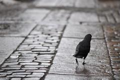 kaja vandra lungt fram. (ros-marie) Tags: black bird bild svart fågel fotosondag fs160131