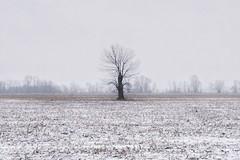 Rural winterscapes. (beyondhue) Tags: winter tree field rural landscape corn snowy farm ottawa horizon lonely beyondhue