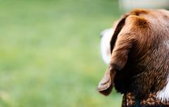 7/52 || ears (cathy sly) Tags: dog pet beagle ear basil 52weeksfordogs