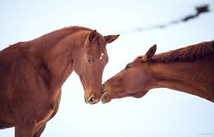 Chestnut Kiss (Jen MacNeill) Tags: winter horses horse snow love kiss maroon chestnut valentinesday equine warmblood 26ccfbt