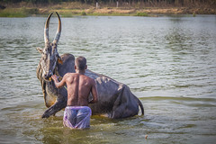 (Tiller Friend) ((NIZHARPADAM)) Tags: people india rural cow friend village farmers streetphotography bull international pondicherry roi helper indianstreetphotography rootsofindia