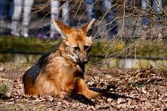 TiergartenNurnbergMrz11 057.jpg (jeolpe) Tags: tiere tiergarten raubtiere mhnenwolf nrnbergertiergarten landtiere 1homepage