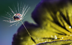 marble drop (ASPphotographic) Tags: flower colour water droplets drops bokeh colourful marble waterdrops macrophotography dandelionseed dropsphotography