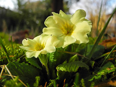 8882 Gelbe Primel im Vorfrhling. Yellow Primrose in early spring. (Fotomouse) Tags: flowers plant flower macro nature yellow spring flickr blossom outdoor natur blossoms pflanze blumen vegetable gelb 1001nights blume makro blte frhling draussen earlyspring primrose blten primel vorfrhling fotomouse