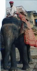 Man riding Asian Elephant, Jaipur, India (Animal People Forum) Tags: india elephant animals asian riding elephants mammals workinganimals jaipur asianelephant