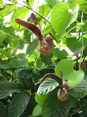 Dutchman's Pipe (Hawai'i Naturalist) Tags: botanical hawaii vine tropical aristolochia dutchmans paipe