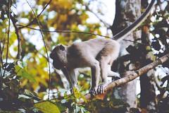 Borneo   by It's Travel O'Clock (DaphneGroeneveld) Tags: travel nature its animal monkey wildlife malaysia borneo welfare oclock