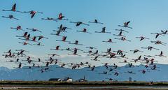 Adagio (xelemendez) Tags: valencia flamingos flamencos laalbufera