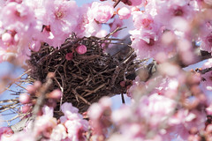 Bird Nest in Plum Blossoms (vanalan) Tags: california plant flower nest plum mountainview