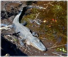Sawgrass Lake Park -St Petersburg, Florida (lagergrenjan) Tags: park lake st florida alligator petersburg sawgrass