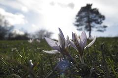 Crocus biflorus - Italia centrale - Febbraio 2016 - (Paolo Caciagli) Tags: flowers italy flora italia tuscany wildflowers fiori toscana zafferano montalbano pietramarina crocusbiflorus