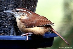 Carolina Wren (--Anne--) Tags: nature birds wildlife birdfeeder wren