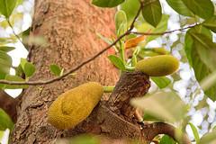 Jackfruit (Artocarpus heterophyllus)- POV (Nitya..) Tags: travel family holiday composition pov weekend january jackfruit 2016 ranchi artocarpus heterophyllus artocarpusheterophyllus