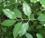 chandan tree (GlobalCitizen2011) Tags: trees plants sind sindh rano sindhi chandan moomal raano sindhs