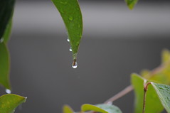 March (mrsjohnketta) Tags: plant macro green nature water leaves rain japan closeup tokyo march leaf drops nikon nikkor pioggia goccia d300 105mm