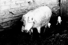 (bisonte invencible) Tags: blackandwhite blancoynegro film 35mm canon pig a1 bnw biancoenero blancetnoir littledoglaughednoiret