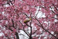(nobuflickr) Tags: flower nature japan botanical kyoto   japanesewhiteeye zosteropsjaponicus the  garden     prunusincampcvokame  20160316dsc03750
