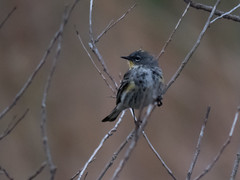 Yellow-rumped Warbler (Audubon's) (forwardbirds) Tags: playadelrey sosp ballonafreshwatermarsh songsparrowcalifornia