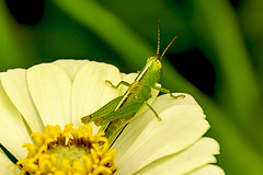 Grass Hopper on a white zinnia (Y) (malc1702) Tags: flowers plants nature beauty garden insects bugs grasshopper zinnia insectonaflower nikond7100 nikkor18140mm