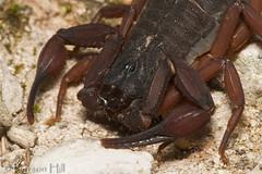 Florida Bark Scorpion (Centruroides gracilis) (Pierson Hill) Tags: floridakeys buthidae arachnidae chelicerata scorpiones bahiahondakey arthropda centruroidesgracilis brownbarkscorpion