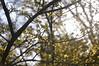 Cornus Officialis (Pattern Interrupt) Tags: uk spring arboretum oxfordshire 春 cornus batsfordarboretum サンシュユ 山茱萸 officialis visitbatsford