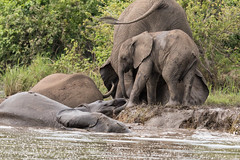 African Elephant - Loxodonta africana, Majete, Feb 2016-3 (Peter R Steward) Tags: malawi geolocation majete 6places camera:make=canon exif:make=canon africanelephantloxodontaafricana exif:aperture=ƒ80 13mammaliaclassmammals eutheriainfraclassplacentalmammals elephantidaefamilyelephants proboscideaorderelephants camera:model=canoneos70d exif:model=canoneos70d exif:isospeed=500 exif:lens=tamronsp150600mmf563divcusda011 exif:focallength=213mm